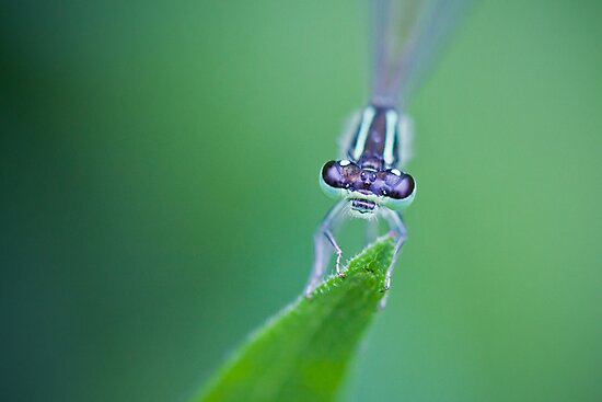 Dragonfly Portrait Macro by indiabluephotos