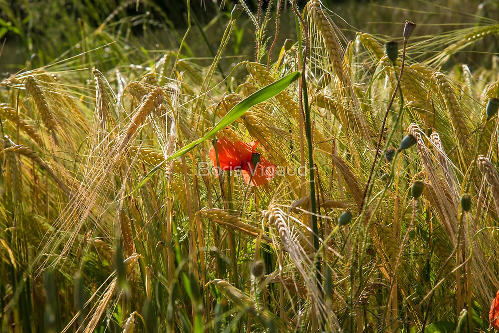 poppy flowers in summer fields by Boris Vigaud