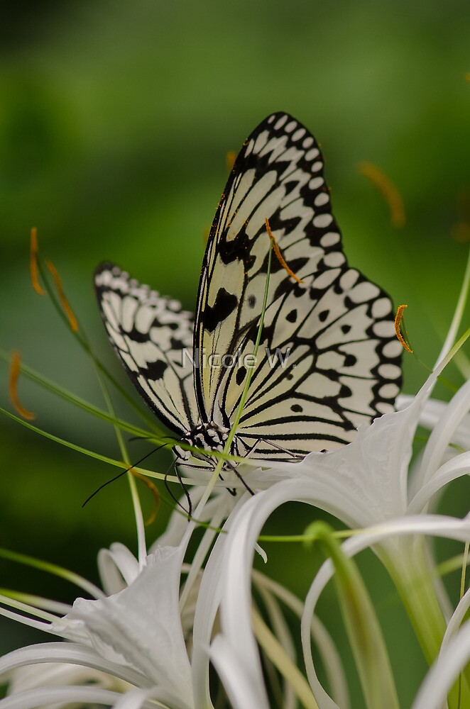 white butterfly by Nicole W.