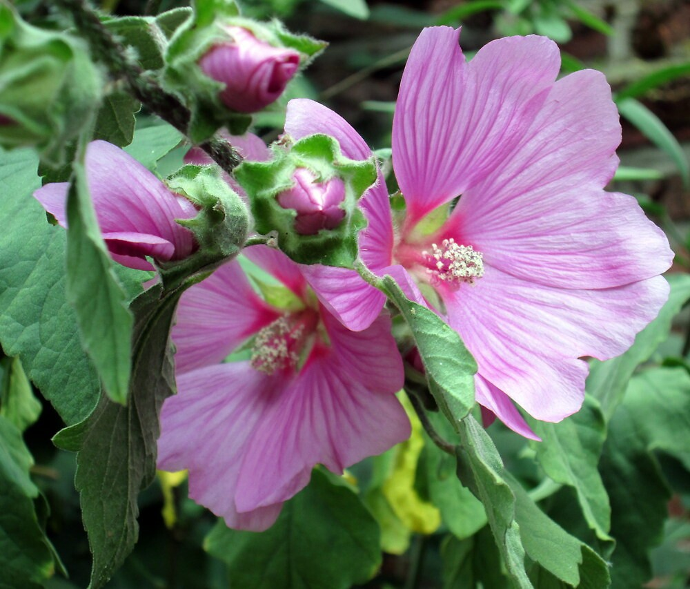my lavatera just beginning to bloom by margaret hanks