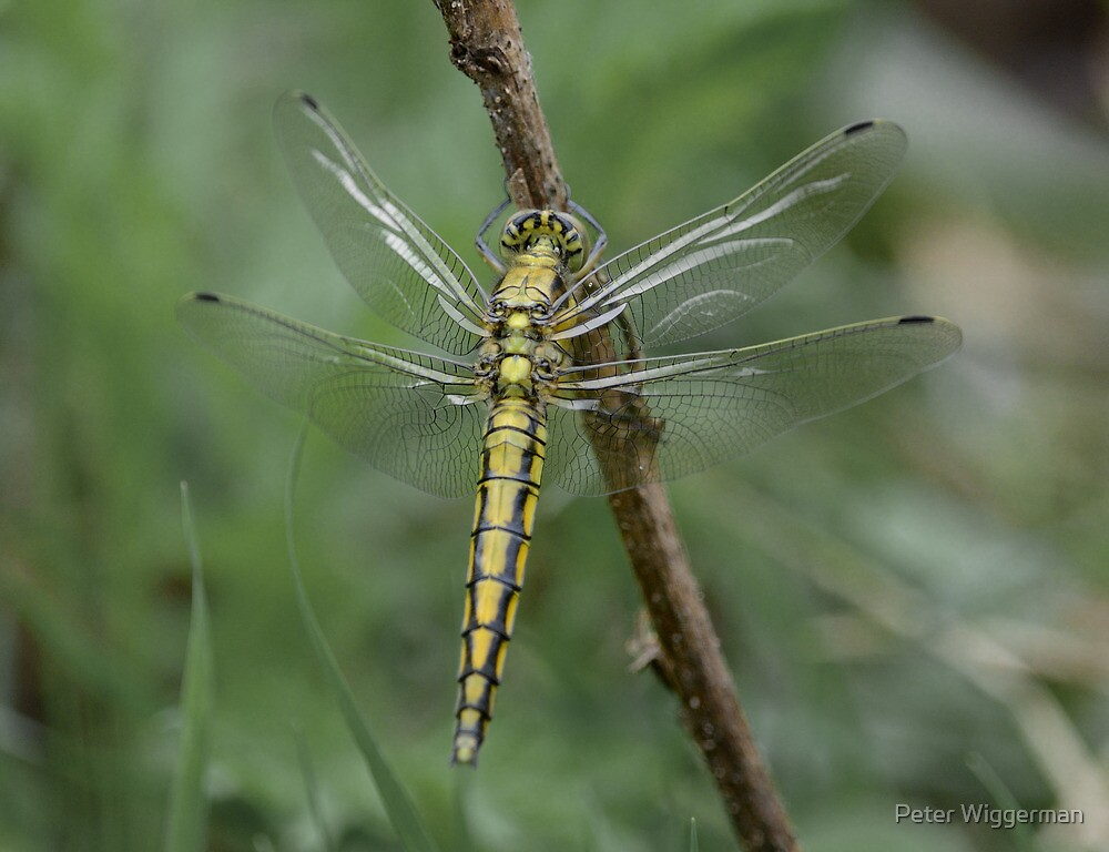 Dragonfly - Orthetrum cancellatum by Peter Wiggerman