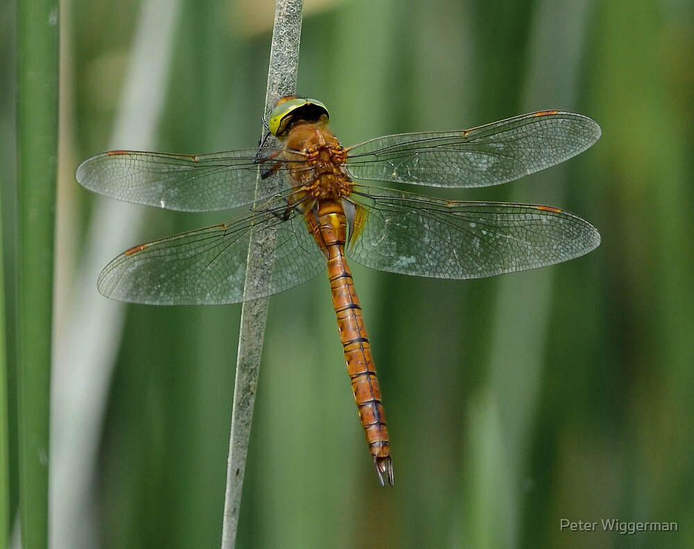 Dragonfly - II by Peter Wiggerman