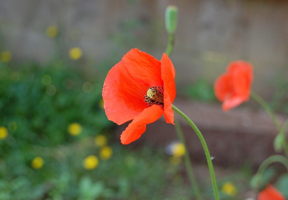 Poppy by Lisa Kent
