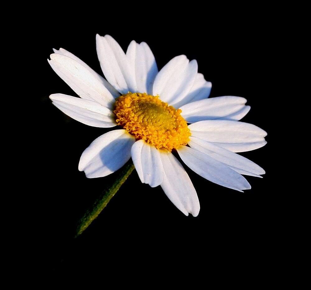 Black and White Daisy by Karen Harrison