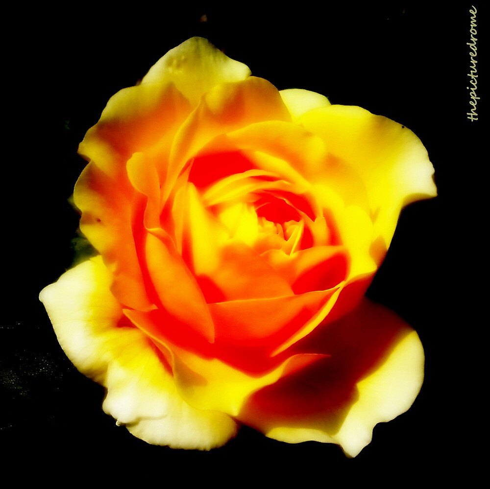 Yellow Rose by thepicturedrome