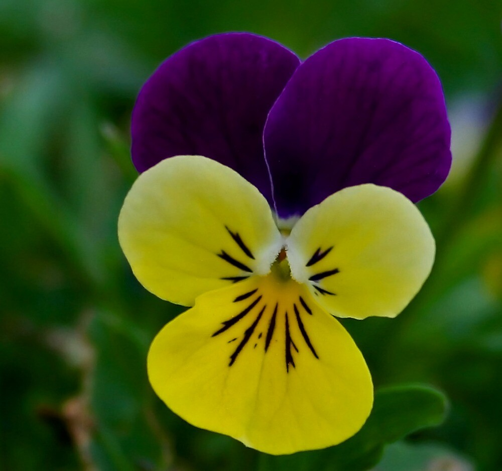 Pretty Pansy by Karen Harrison