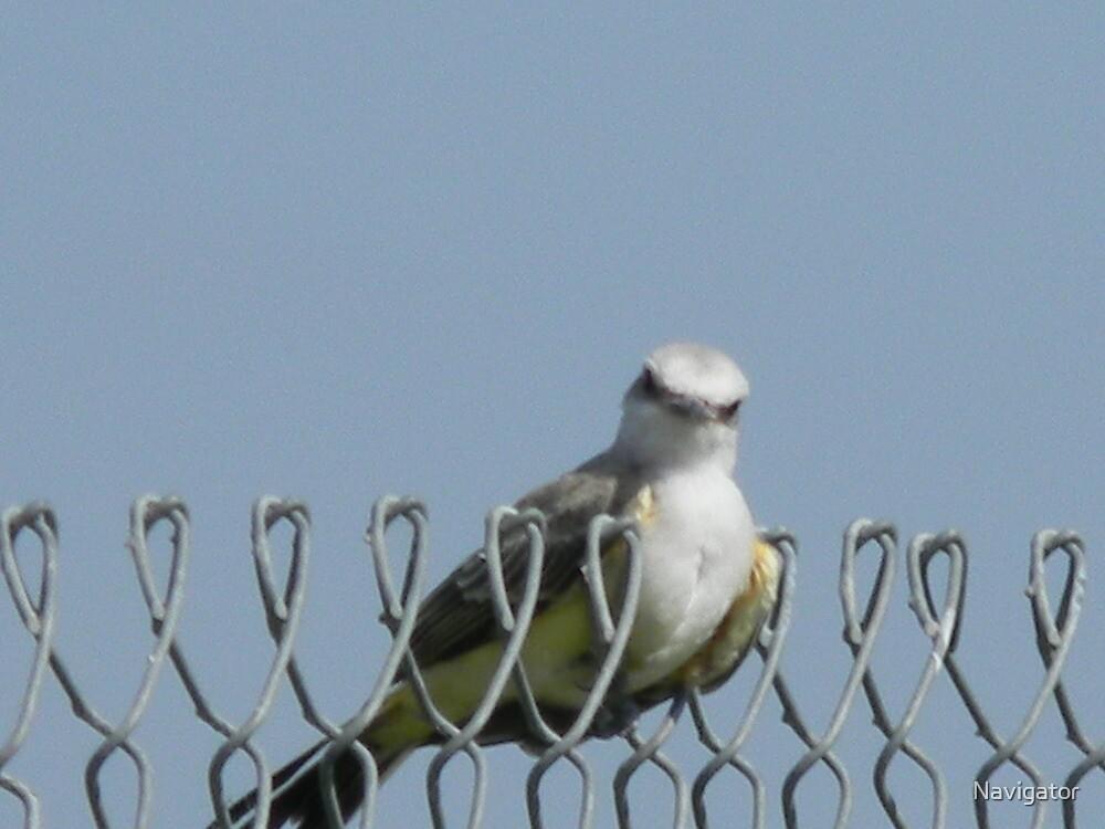 Whaddaya Waitin' For? Vote Pro-LIFE for Us KINGBIRDS! :P Western KINGBIRDS! by Navigator