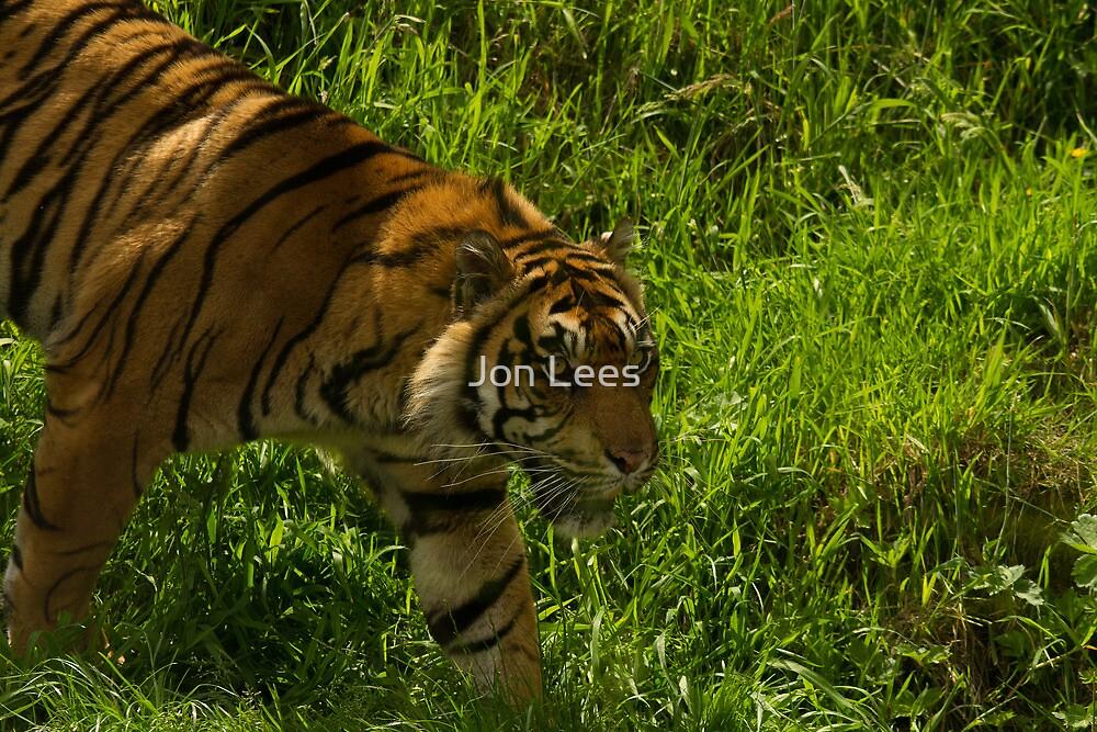 Sumatran tiger (Panthera tigris sumatrae) by Jon Lees