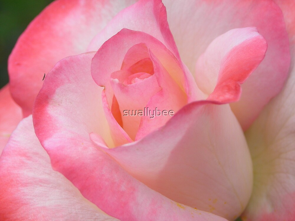 Pink and White Rose by swallybee