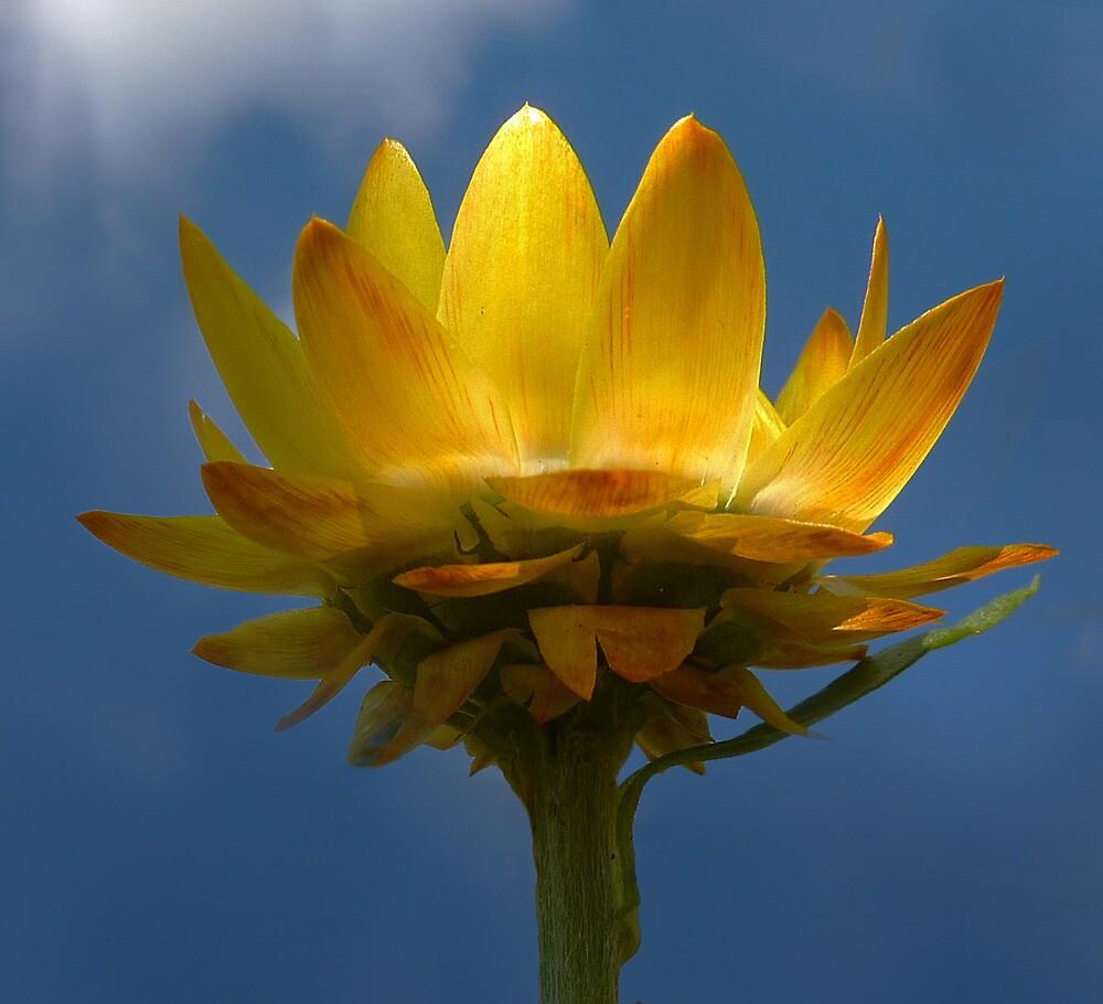 Yellow Strawflower by sunshine65