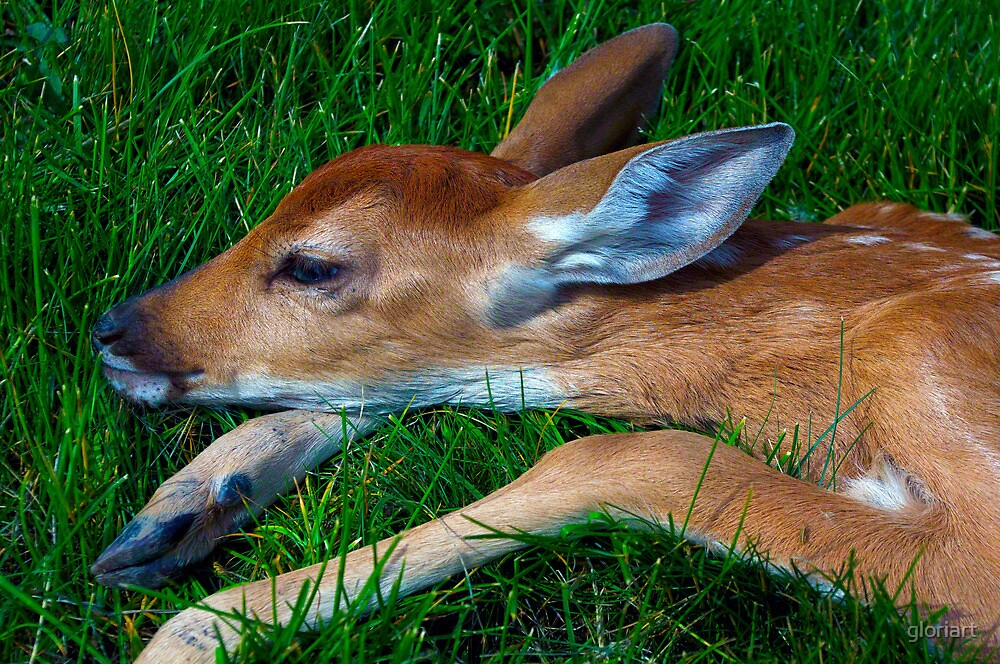 A Fawn's Head by gloriart