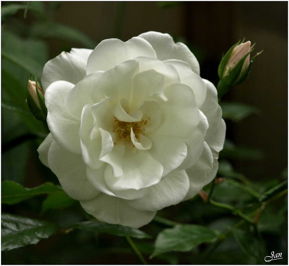 White Rose by Janone