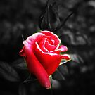 Rose Red by WilMorris
