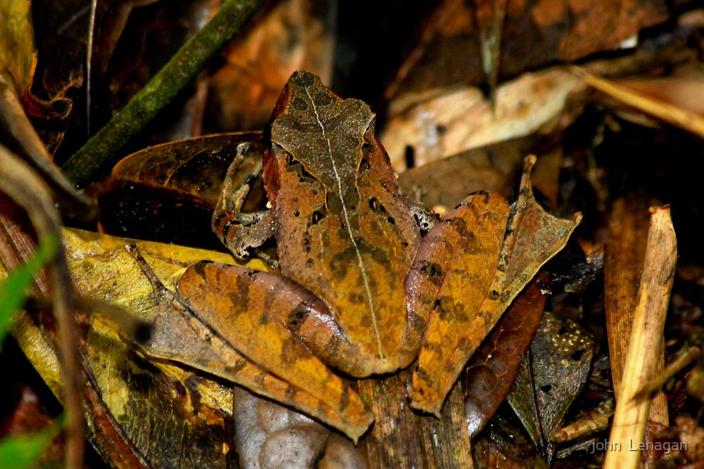 Leaf Tree frog  - gephyromantis  sculpturatus -  Ranomafana Madagascar by john  Lenagan