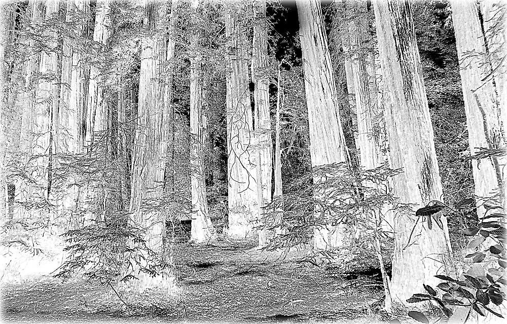Muir Woods Extravagenza~ by GraNadur