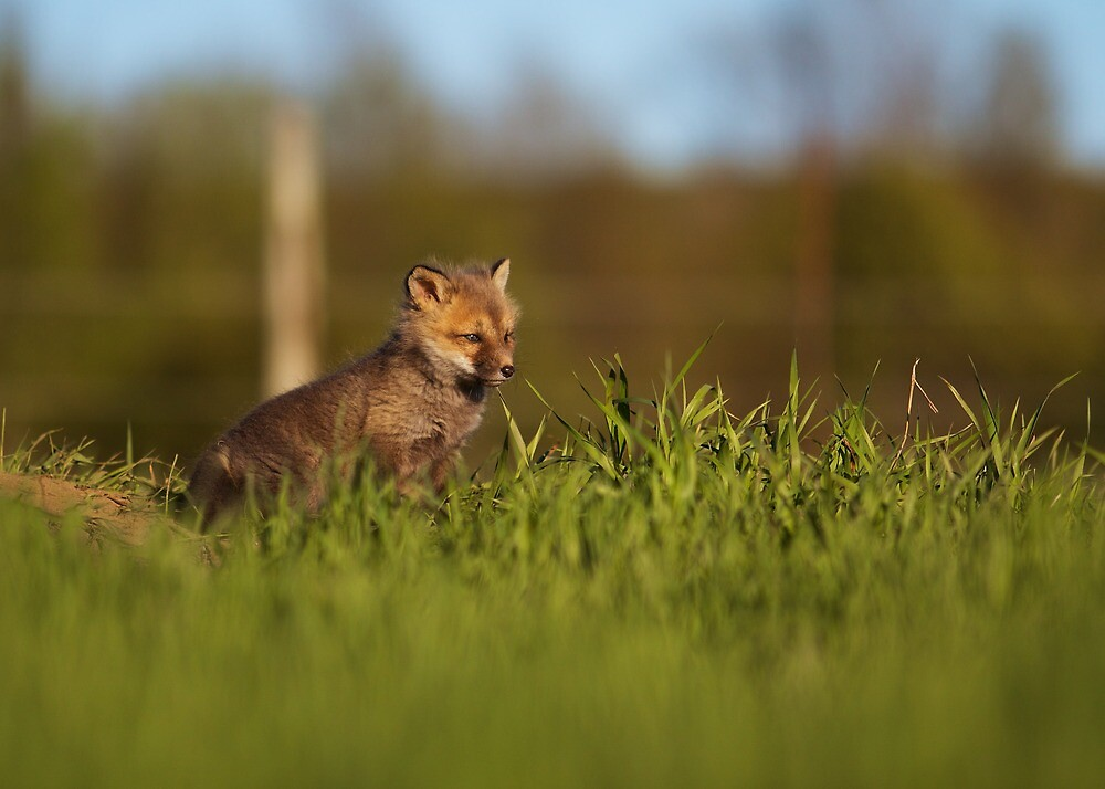 Baby Fox 1 by jamieleigh