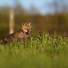 Baby Fox 1 by jamieleigh