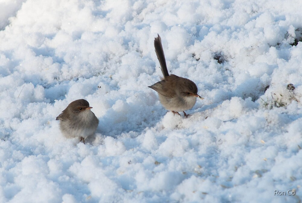 Superb Blue Fairy Wrens in the snow  by Ron Co