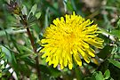 The Humble Dandelion - Taraxacum officinale by MotherNature