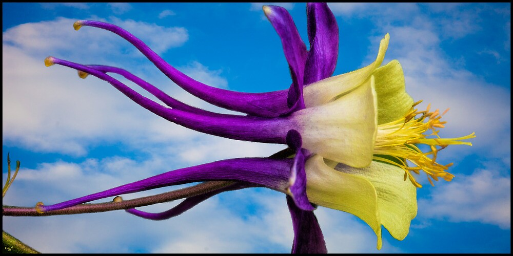 Reach for the Sky Columbine by Chris Lord