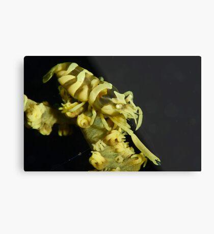 Yellow Zanzibar Shrimp Metal Print