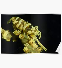 Yellow Zanzibar Shrimp Poster