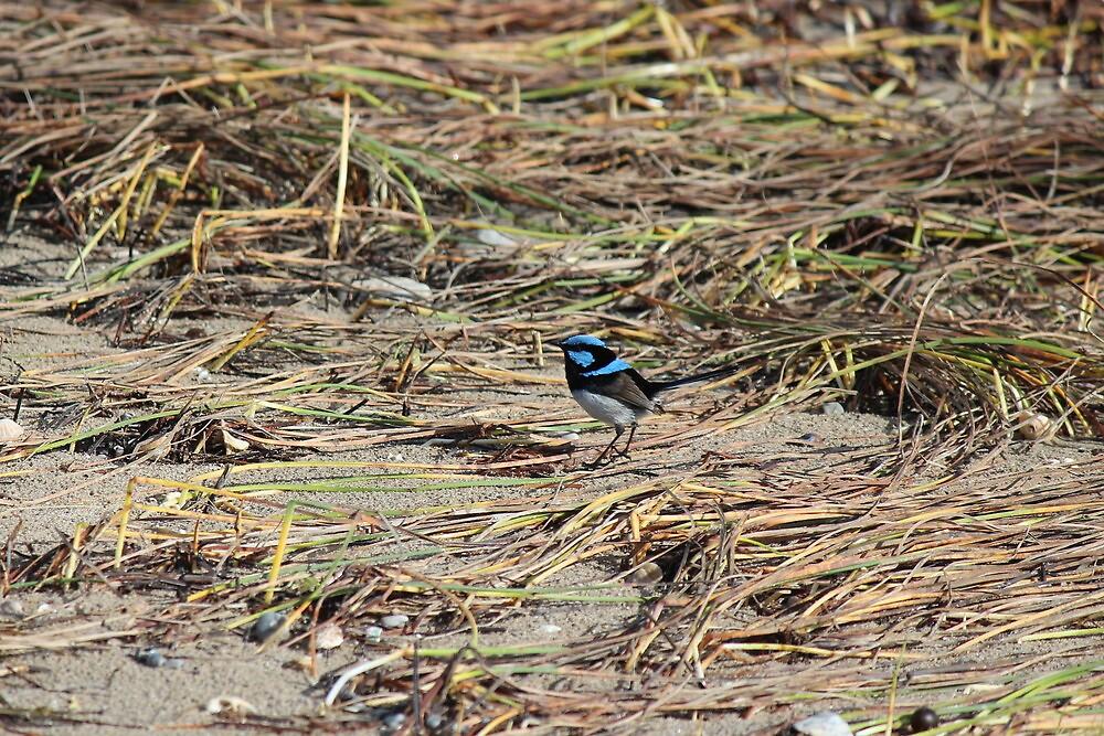 blue fairy wren at Greens Beach by gaylene