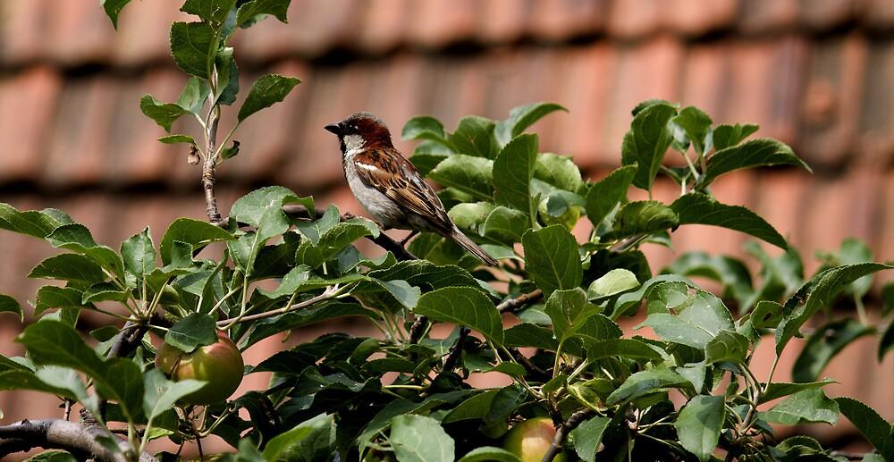 sparrow by slavikostadinov