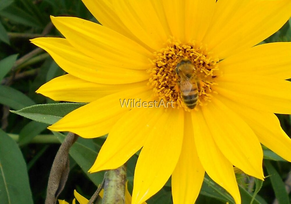 Honey Bee On Sunflower by WildestArt