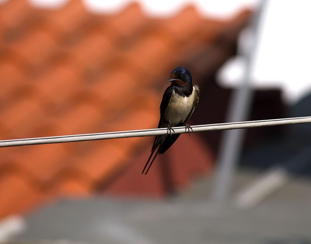 swallow by slavikostadinov