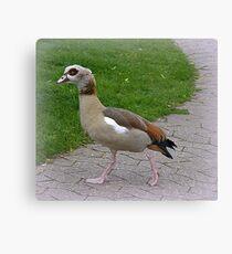 Egyptian Goose. Leinwanddruck