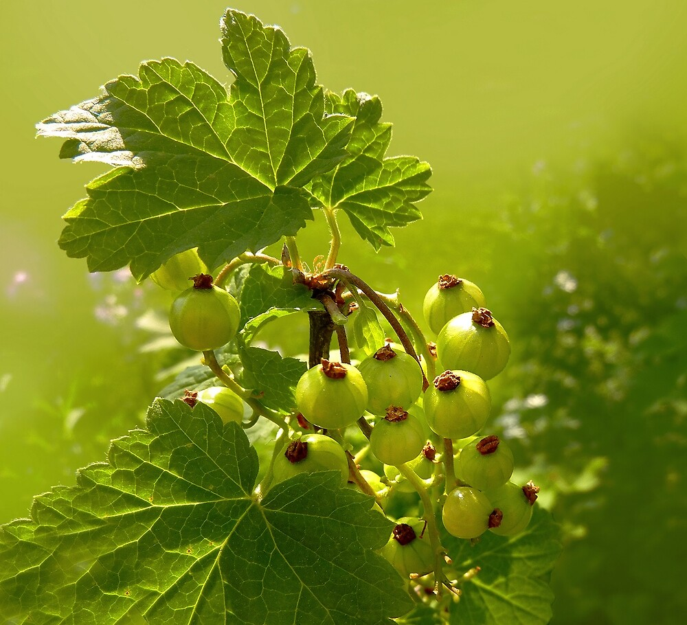 Green Currant by sunshine65
