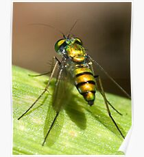 Condylostylid Long-legged Fly Poster