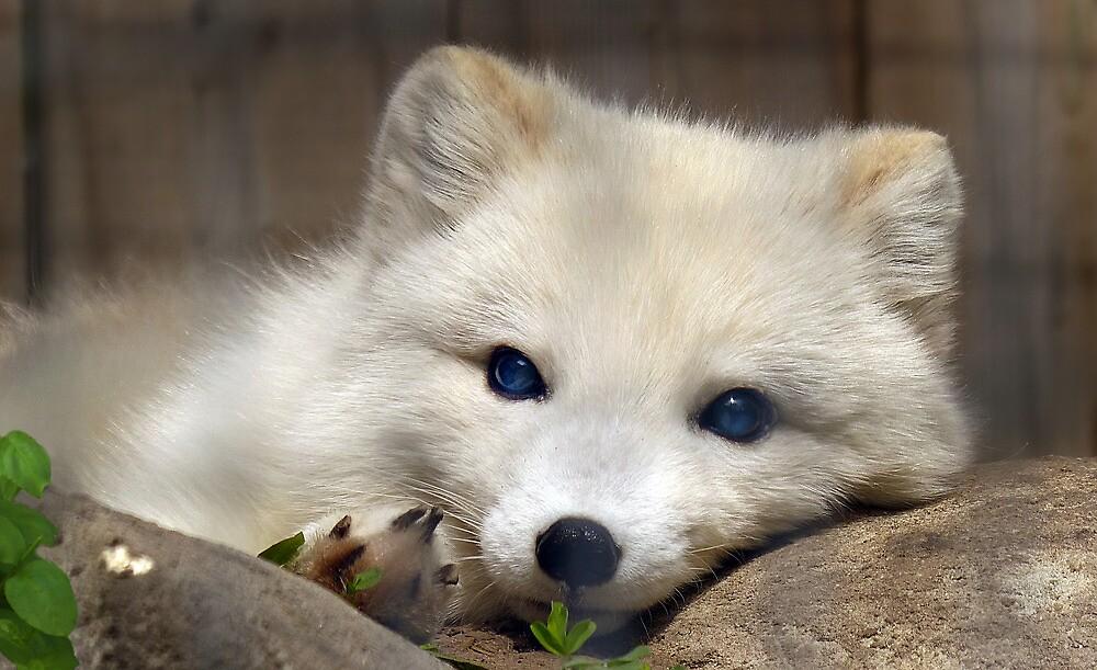 Arctic Fox by sunshine65