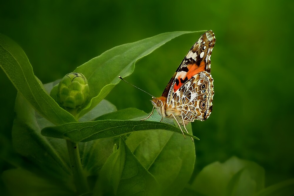 Painted Lady Butterfly by sunshine65