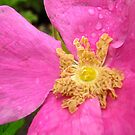 Wet pink flower by Shulie1
