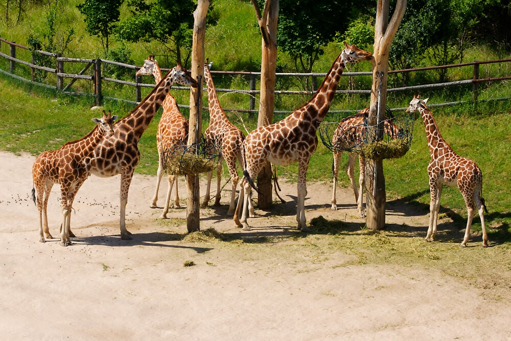 Giraffes - Prague Zoo, Prague, CZ by Josef Pittner