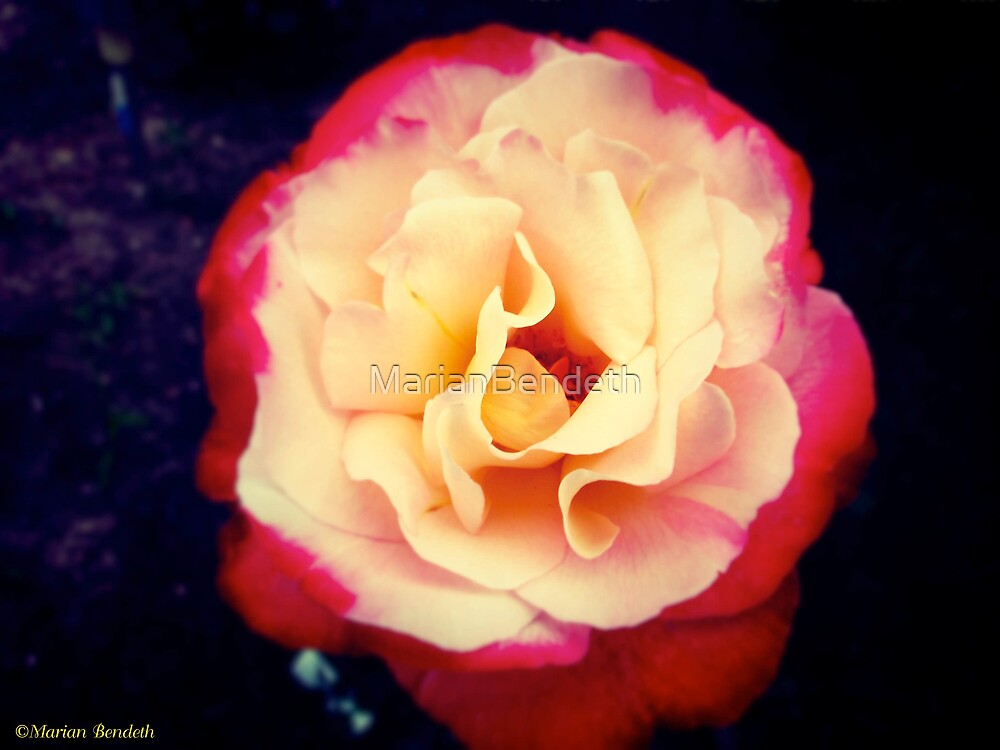 Doubly Delightful Rose by MarianBendeth