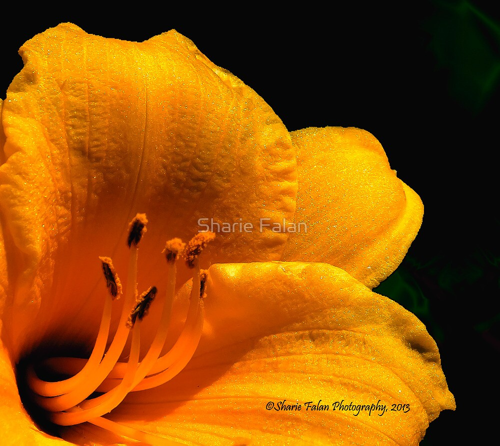 Lily2 by Sharie Falan