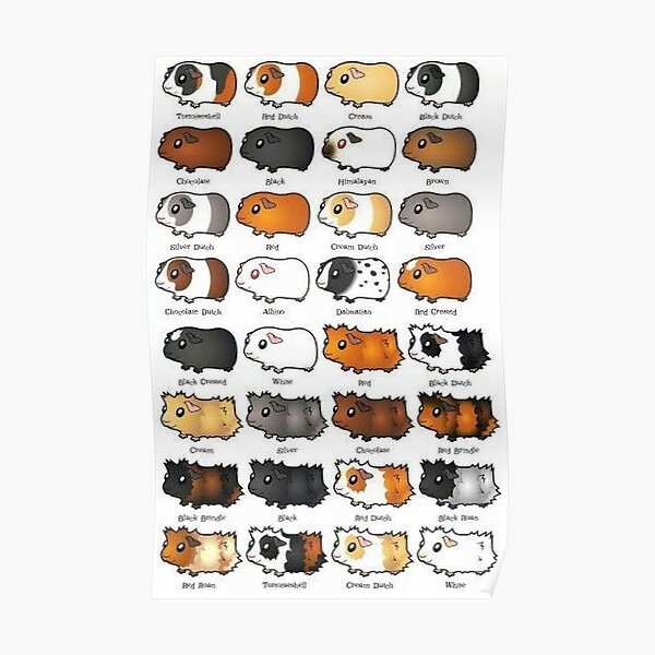 Guinea Pig – Cavy Collection – Model 08 Poster