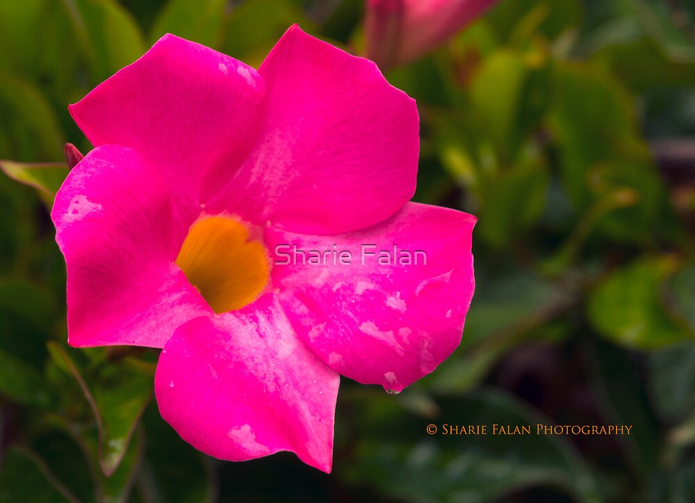 Pretty in Pink by Sharie Falan