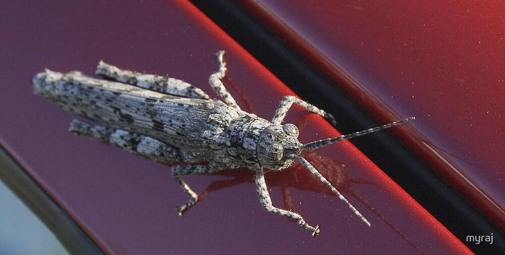 Local Locust by myraj