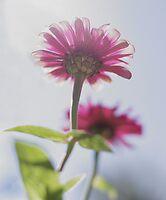 Flower by BaVincio
