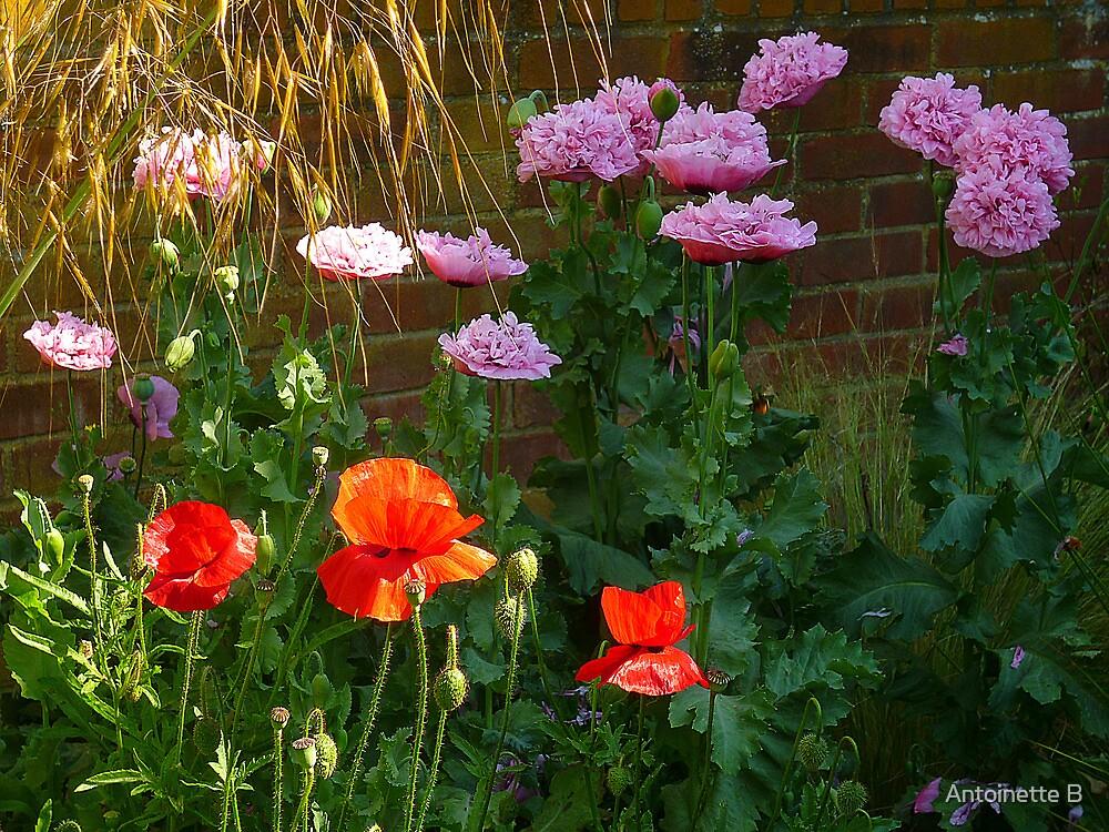 Poppies & Golden Oats  by Antoinette B
