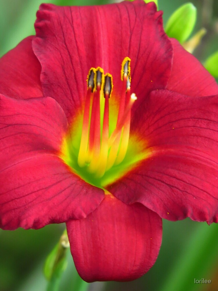 Ruby Red Lily by lorilee