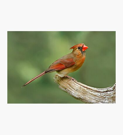Sitting Pretty - Female Northern Cardinal Photographic Print
