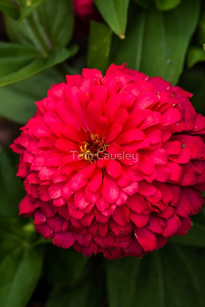 Bright Red Flower by Tom Causley
