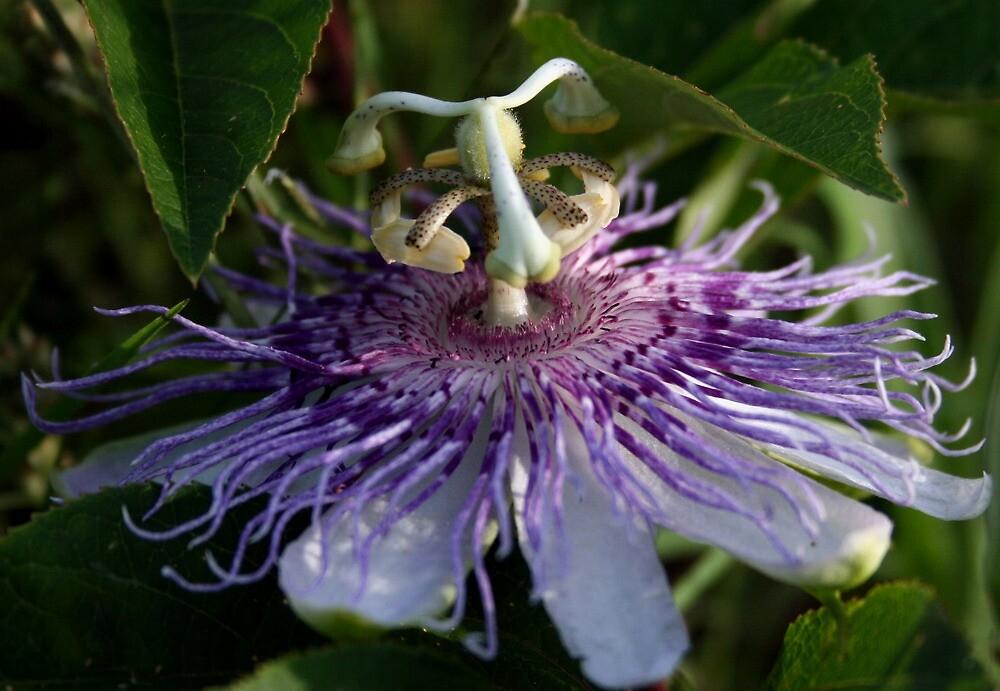 Purple Passion by Karen Harrison