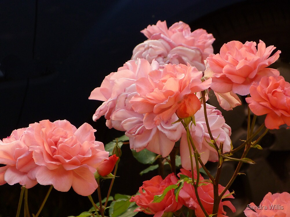 Pink Roses by Sandra Willis