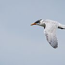 Juvenile Caspian Tern by (Tallow) Dave  Van de Laar